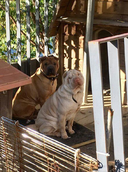 gdragon sharpei dogs 2
