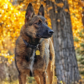 Mesa - The Malinois  by Twin Wranglers Baker - Animals - Dogs Portraits (  )