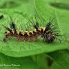 Guatemalan Cracker Caterpillar