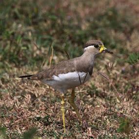 Yellow-wattled lapwing Bird by Vivek Naik - Animals Birds ( bird, yellow-wattled lapwing )