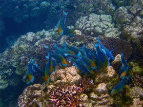 Photo: dusky parrotfish feeding