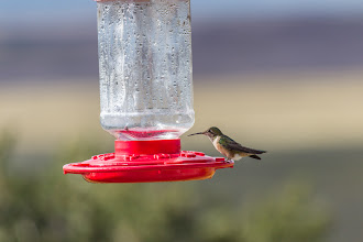 Photo: Female Rufous Hummingbird