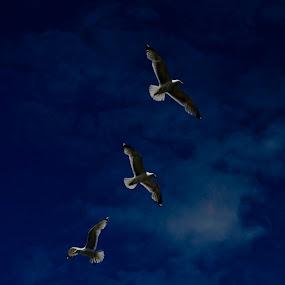 Flying High by H. Ava-Lyn Smith - Animals Birds ( flight, flying, sky, blue, seagulls, cloud, feathers, birds, gulls )