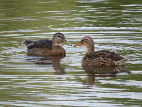 Photo: 18 Jul 13 Priorslee Lake: Good views like this make separation of eclipse drake Mallard (on the left with the almost plain greeny bill) from the duck (which always has a dark bill shading to orange at the edges) straightforward. Not always this close! (Ed Wilson)