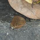 Eumolphus Oakblue