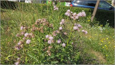 Photo: Pălămidă (Cirsium arvense) - din Turda, Calea Victoriei, Nr.98, spatiu verde - 2019.07.08