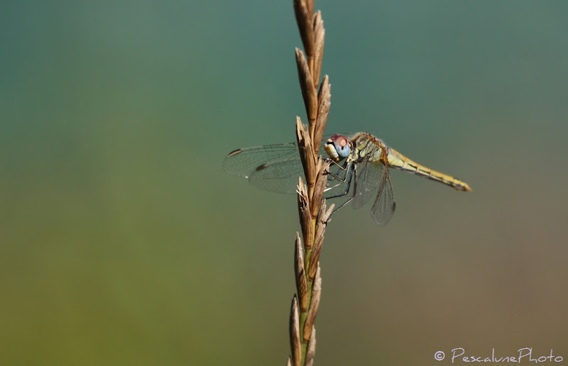 Photo: Sympetrum à nervures rouges (Sympetrum fonscolombii), Red-veined darter