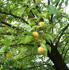 Owoce ałyczy Prunus cerasifera fruits