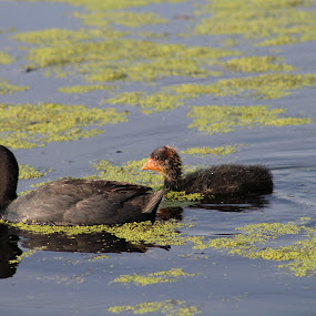 mom and baby coot by Rose McAllister - Animals Birds ( ducks_baby_water_feed_nature )