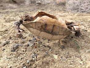 Photo: Fate of an endangered species... this California desert tortoise was more endangered than most.iPhone 5S.