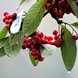 After the fog by Ron Adams - Nature Up Close Natural Waterdrops ( water-drops, red, green, leaves, berries,  )