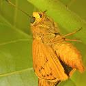 Lesser dart (skipper butterfly)