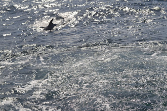 Photo: the porpoises trying to steal the fish from our lines