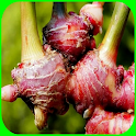 red ginger cultivation icon