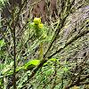 Auckland Green Gecko