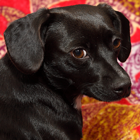 Rue by Brian Robinson - Animals - Dogs Portraits