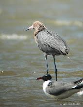 Photo: Reddish Egret, Mustang Island, Texas
