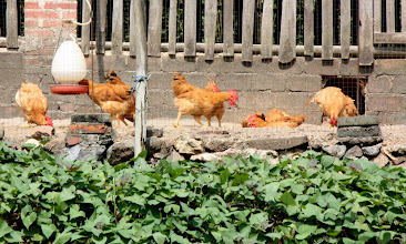 Photo: Day 207 - Chicken Farm #2