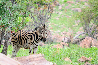 Photo: The tree underneath which the Zebra stands is Protea Caffra, the Common Suger Bush. Marakele National Park, South Africa