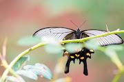 Photo: 光の翅 Wings of shine.  陽射しを浴びて 光を纏う 華やかに 秋の空へ 輝き舞うために  Chinese windmill. (ジャコウアゲハ)  #insect #cooljapan #nikon #sigma  Nikon D7200 SIGMA 150-600mm F5-6.3 DG OS HSM Contemporary