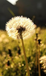 dandelion live wallpaper screenshot 0