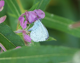 Photo: Holly Blue