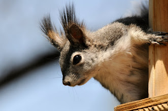 Photo: Abert's (tassel-eared) squirrel