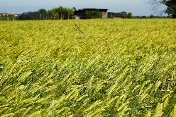 Dormi sepolto in un campo di grano ... di DOSSIG
