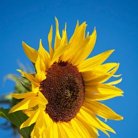 Dominance by Laura Bentley - Nature Up Close Flowers - 2011-2013 ( alberta, bright, sunflower, vibrant, large )