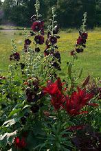 Photo: Dark red hollyhocks and monte negro asiatic lilies.