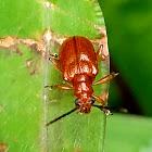 Orange leaf beetle