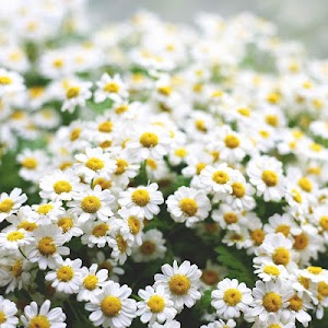 Daisy Live Wallpaper screenshot 4