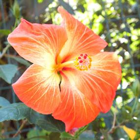 Orange Flower by Halime Pelitçi - Nature Up Close Flowers - 2011-2013 ( orange flower, türkiye, turkey, heybeli island, flower )