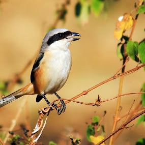 Long Tail Shirke by Pravin Dabhade - Animals Birds ( 55-250mm, long tail shirke, canon550d )