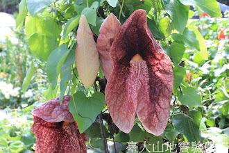 Photo: 拍攝地點: 梅峰-溫帶花卉區 拍攝植物: 巨花馬兜鈴(煙斗花 豬肝花) 拍攝日期:2012_07_24_FY