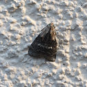 Double-humped Pococera Moth