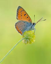 Photo: Grand cuivré, Großer Feuerfalter, Manto grande  http://lepidoptera-butterflies.blogspot.com/