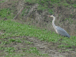 Photo: Airone cenerino (Ardea cinerea) - Presente tutto l'anno