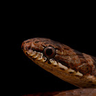 Collared Black-headed Snake