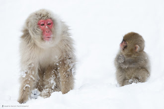 Photo: A Young Snow Monkey looks on as an adult shakes snow from its head.