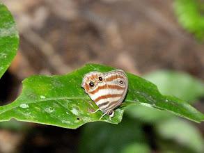 Photo: PICEA SATYR--euptychia picea--APUYA TRAIL-- id by Andrew Neild