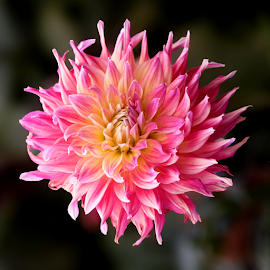 Dahlia 9269 by Raphael RaCcoon - Flowers Single Flower