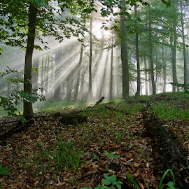 by Siniša Almaši - Nature Up Close Trees & Bushes ( forest, view, sunrays, nature, light, natural light, woods, trees, landscape, morning )