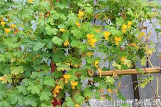 Photo: 拍攝地點: 梅峰-花卉包裝場旁 拍攝植物: 金絲雀金蓮花 拍攝日期:2013_09_28_FY