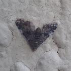 Some Type Of Crambid Moth