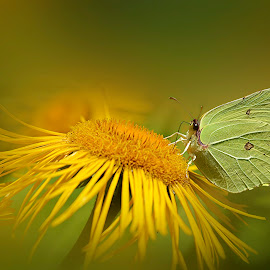 Yellow butterfly by Mikaela Dana - Animals Insects & Spiders ( outdoor, nikon, nature, butterfly, summer, flower,  )