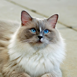 How Blue  by Moe Cook - Animals - Cats Playing ( kitten, cat, cat eyes, beautiful, beautiful eyes,  )