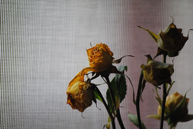 rose-676760_640.jpg