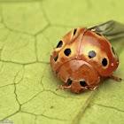 Eastern Ten-spotted Lady Beetle