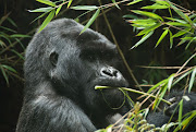 Generic photo of a gorilla. Image: 123RFStock Image/ayerst